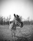 Zebra das concessões Fotografia de Stock Royalty Free