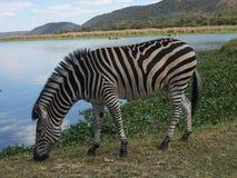 Zebra, das durch den See weiden lässt stockbild