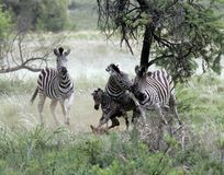 Zebra, das entbindet stockfotos