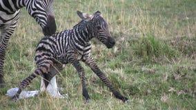 Zebra, das entbindet stock footage