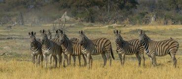 Zebra, das entlang des waterhole anstarrt Stockfoto