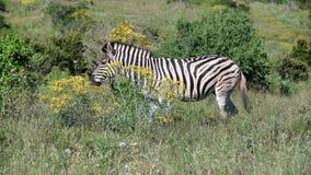 Zebra, das Gras in addo Elefanten isst stock video footage