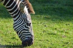 Zebra, das Gras in Afrika isst stockbild