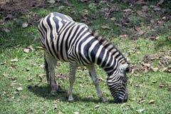 Zebra, das im Zoo weiden lässt Stockfoto