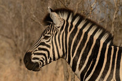 Zebra das planícies Fotos de Stock