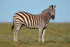 Zebra das planícies Imagens de Stock