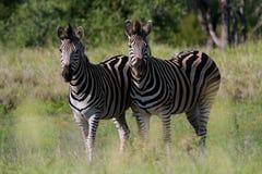 Zebra das planícies Imagens de Stock Royalty Free