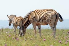 Zebra das planícies com o potro em Addo Elephant Park Imagens de Stock Royalty Free