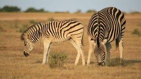 Zebra das planícies com potro Fotos de Stock Royalty Free