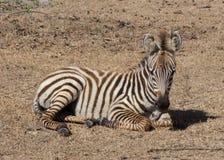 Zebra das planícies no habitat natural, África do Sul Imagem de Stock