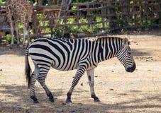 Zebra das planícies no habitat natural, África do Sul Imagem de Stock Royalty Free