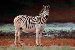 Zebra das planícies no habitat natural Fotos de Stock Royalty Free