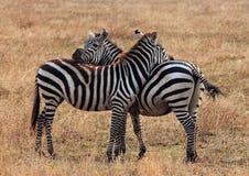 Zebra das planícies Foto de Stock