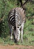Zebra, das in Südafrika weiden lässt lizenzfreies stockbild