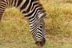 Zebra, das trockenes Gras weiden lässt stockfotos