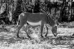 Zebra, das unter dem Gras weiden lässt Lizenzfreie Stockfotografie