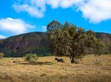 Zebra, das unter einem Baum im Schatten steht  Lizenzfreie Stockfotografie