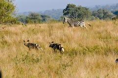Zebra, das wilde Hunde jagt Stockfotos