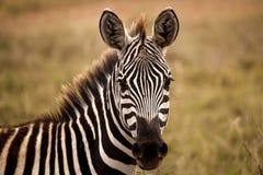Zebra, das Zuschauer betrachtet Lizenzfreie Stockbilder