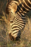 Zebra at dawn Stock Photos