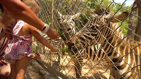 Zebra de alimentação da mãe e da filha video estoque