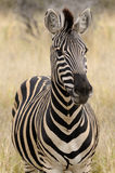 Zebra de Burchell Fotos de Stock Royalty Free