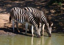 Zebra de Burchell Foto de Stock Royalty Free