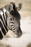 Zebra de Burchell Imagem de Stock Royalty Free