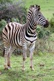 Zebra de Burchell Foto de Stock