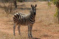 Zebra de Burchell Fotografia de Stock Royalty Free