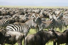 Zebra de Burchell (burchelli do Equus) imagem de stock
