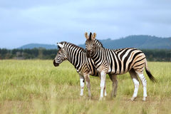 Zebra de Burchell no savanna Fotografia de Stock
