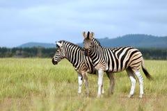 Zebra de Burchell no savanna fotografia de stock