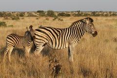 Zebra de Burchells Fotografia de Stock