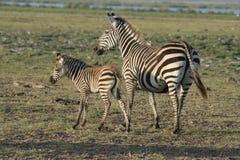 Zebra de Burchells ou zebras comuns ou Milia de Punda na língua do suaíli Fotografia de Stock Royalty Free