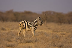 Zebra de Burchells que anda no campo Fotos de Stock Royalty Free