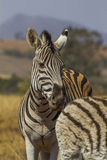 Zebra de Burchels Fotografia de Stock