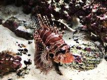 Zebra de Dendrochirus ou turkeyfish da zebra ou lionfish da zebra ou lionfish do anão fotografia de stock