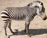 Zebra in de dierentuin Stock Fotografie