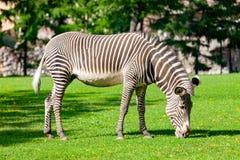 Zebra in de dierentuin royalty-vrije stock foto