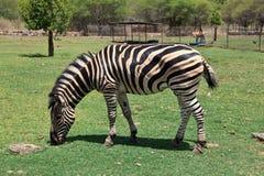 Zebra in de Dierentuin Royalty-vrije Stock Afbeeldingen