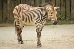 Zebra in de dierentuin in Dvur Kralove Royalty-vrije Stock Foto's
