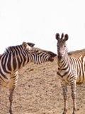 Zebra de dois africanos que morde playfully Foto de Stock