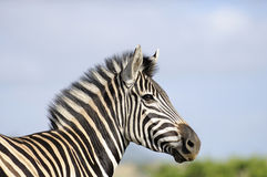 Zebra de encontro a um céu azul Imagem de Stock Royalty Free