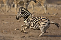Zebra de funcionamento de Burchells Imagens de Stock Royalty Free