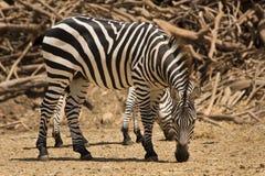 Zebra de Grant imagens de stock royalty free