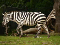 Zebra de Grant Foto de Stock Royalty Free