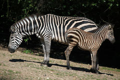 Zebra de Grant (boehmi do quagga do Equus) Imagem de Stock