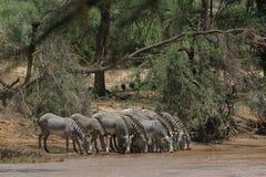Zebra de Grevy Foto de Stock Royalty Free
