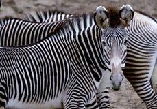 A zebra de Grevy Fotos de Stock